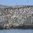 Постер, плакат: Cormorant colony on an island at Ushuaia in the Beagle Channel Beagle Strait Tierra Del Fuego Argentina South America
