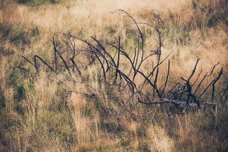 Photo pour Grande branche morte dans un fond d'herbe sèche haute - image libre de droit