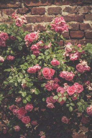 delicate roses outdoor shot in garden