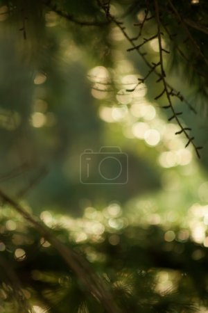 defocused evergreen branch