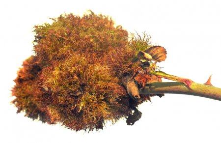Bedeguar gall on wild rose Rosehip Moss