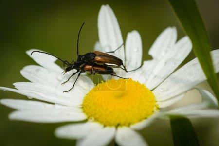 Photo pour Gros plan de deux coléoptères sur une fleur de marguerite . - image libre de droit
