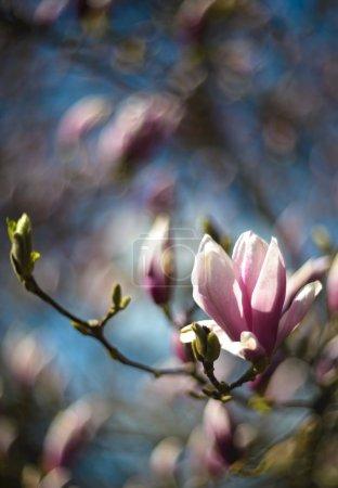 Photo pour Magnolia en fleurs. Photo prise avec une faible profondeur de champ et une lentille soft focus (lentille vintage Helios ) - image libre de droit