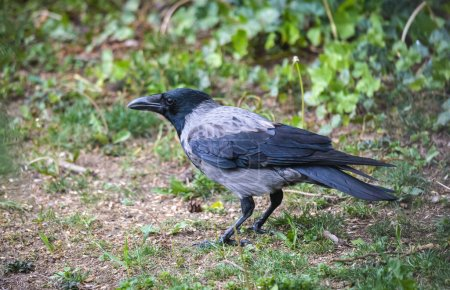 Hoded crow
