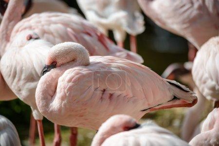 Close up of flamingos