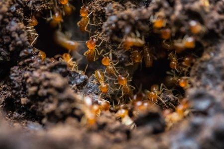 Orange big ants