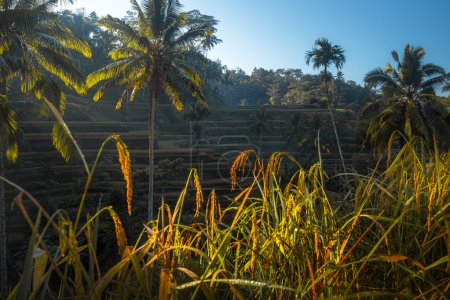 Photo pour Rizières dans la ville d'Ubud. Bali, Indonésie - image libre de droit