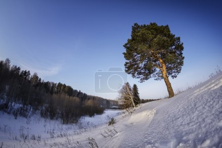 Big tree in a winter forest at sunny day...