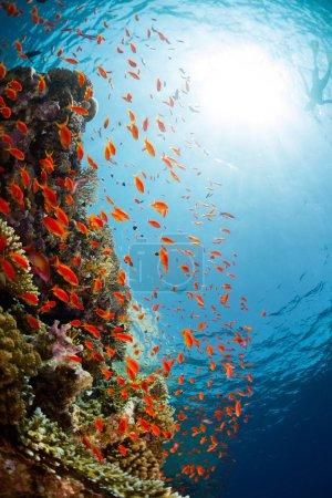 Photo pour Plan sous-marin du récif corallien dans le parc national de Ras Muhammad, Égypte - image libre de droit