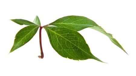 Sheet of vine