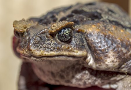 Fantastic portrait of horned toads threatening frog. Selective f