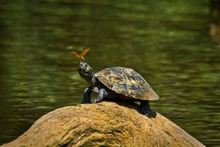 Turtle in amazon rainforest, Yasuni National Park, Ecuador