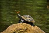 Želva v Amazonský prales, Yasuni národní Park, Ekvádor