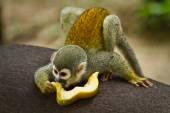 Squirrel monkey in amazon rainforest, Yasuni National Park, Ecuador