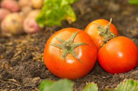 Tomatoes lying naturally on soil ground