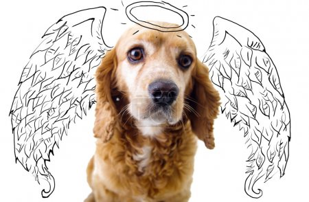 Cute English Cocker Spaniel puppy in front of a white background with angel wings and halo sketch