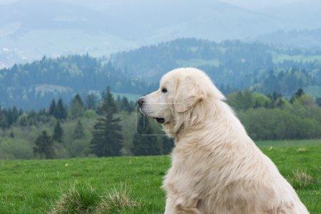 Sheep dog guard herd in Polish mountains