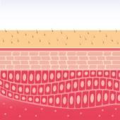 Skin cross-section anatomy medical vector illustration