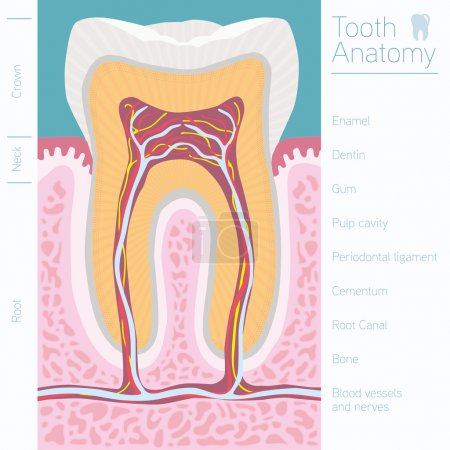 Tooth medical anatomy with words