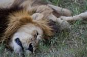 """Постер, картина, фотообои """"Африканский лев в Кении"""""""