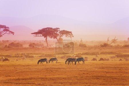 African zebras on grassland