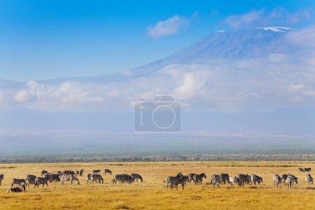 Big zebras herd standing