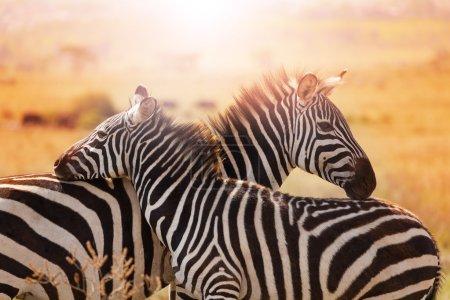 Close-up portrait of mother zebra