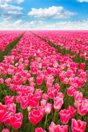 Photo pour Vue sur le champ des tulipes roses pendant la journée ensoleillée d'été aux Pays-Bas, Europe - image libre de droit