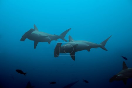 Two hammerhead sharks