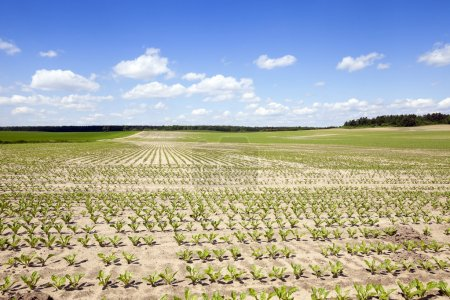 field with beetroot
