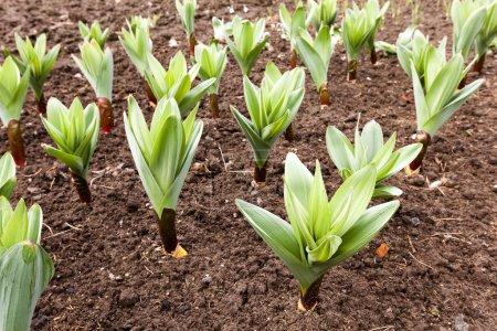 sprouting garlic .  spring