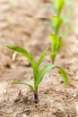 Photo pour Champ agricole sur lequel pousse le maïs vert - image libre de droit