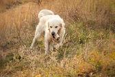 Fiatal Arany-Vizsla kutya