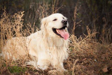 Young golden retriever dog