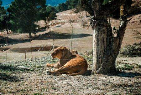 La leona yace en el suelo