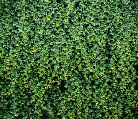 Fond lierre vert