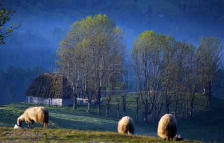 Flock of sheep in the morning fog