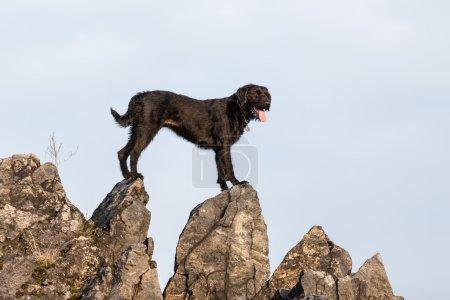 Photo pour Beau chien noir bâtard Amy sur le rocher de montagne, gros plan . - image libre de droit