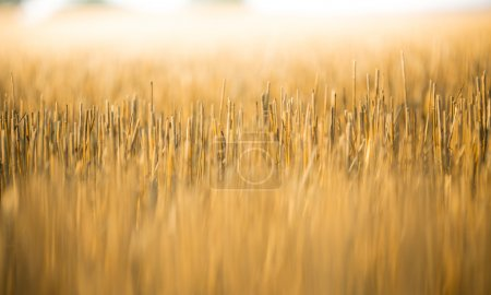 Yellow grain is harvested on field.