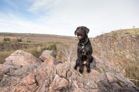 Photo pour Beau chien noir bâtard Amy sur les montagnes, gros plan . - image libre de droit