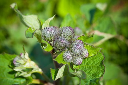 Burdock plant closeup