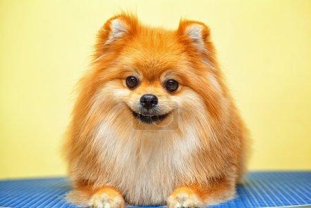 Smiling dog Spitz
