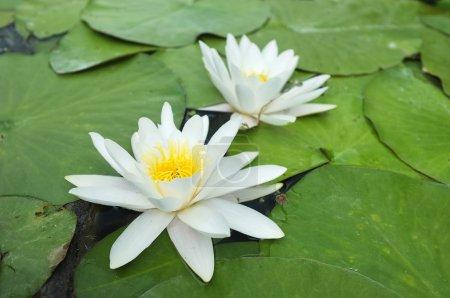 Photo pour Lis de l'eau sur les feuilles vertes sur l'étang. - image libre de droit