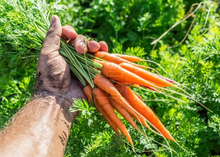 Photo for Carrots  in man's hand. - Royalty Free Image