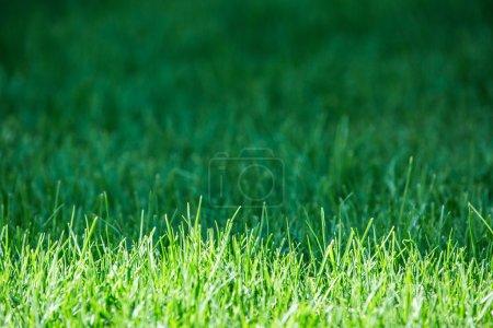 Fresh green grass. Close up.