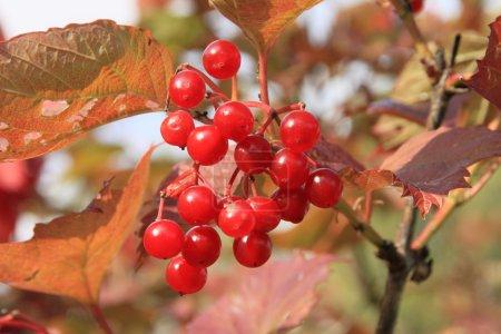 Guelder-rose (viburnum, snowball tree)