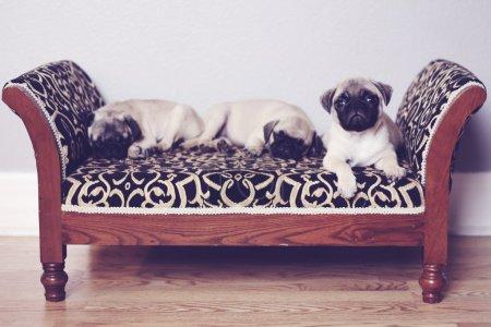 Three pugs sleeping on couch...
