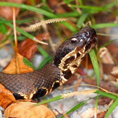 Venomous Cottonmouth Snake