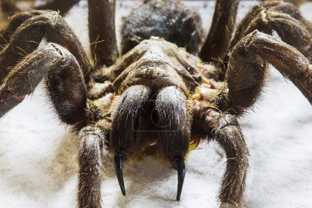 Tarantula close up view