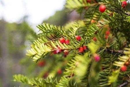 Photo pour Gros plan de vert Branches de conifères rouges le jour - image libre de droit